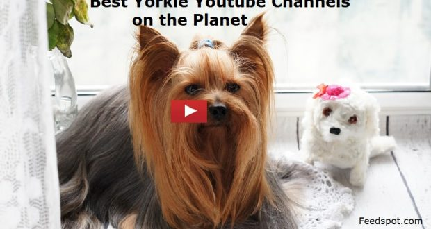 Top 15 Yorkie Youtube Channels To Follow in 2019